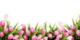 Fototapeta Tulips - Pink tulip flowers border