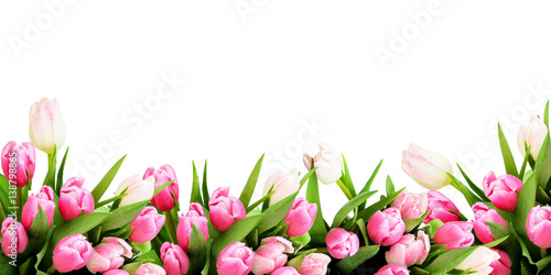 Cadres-photo bureau Tulip Pink tulip flowers border