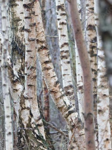 Obraz na plátně Birch trunk in nature