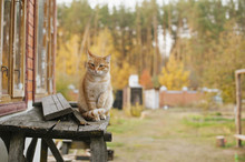 Cute Ginger Cat Walking Outdoor In The Farm