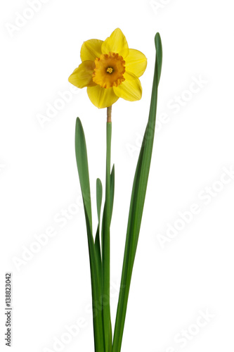 Staande foto Narcis Yellow daffodil isolated