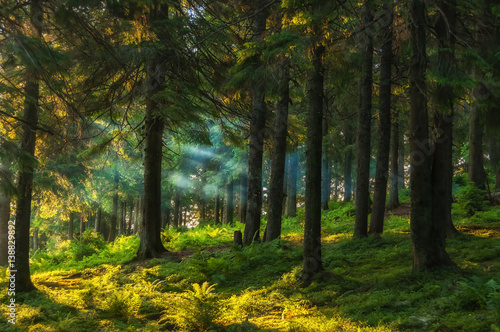 Foto op Plexiglas Bos coniferous forest early in the morning, the sun's rays filtering through the branches and fog. Green ferns saturated and many other plants.