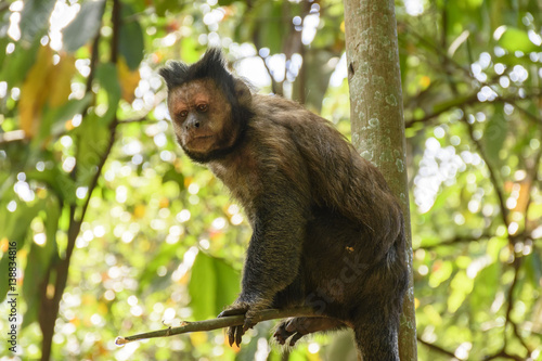 Fotografía  Black Capouchin monkey climbing on a tree in the rainforest of Rio de Janeiro