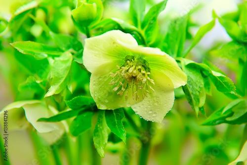 Flower spring first, very early flowering Helleborus