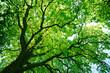 Leinwanddruck Bild - Blick in die grüne Baumkrone einer alten Eiche