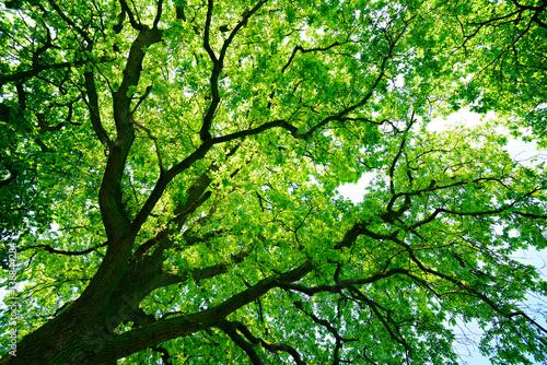 patrzac-na-zielony-treetop-starego-debu