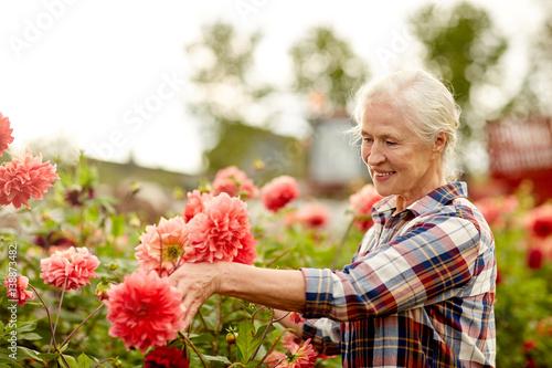 Poster de jardin Dahlia senior woman with dahlia flowers at summer garden