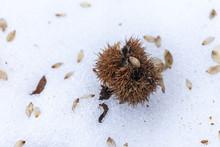 Open Chestnut Hedgehog On The Ice Floor.