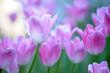 purple tulips on a lawn