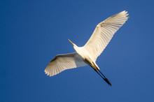 Great Egret Flying In Blue Sky