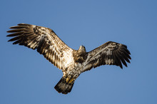 Young Bald Eagle Flying In The...