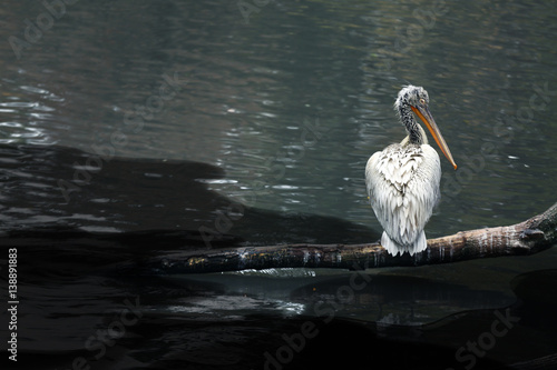 Fotografija  White pelican sitting on tree branch near water