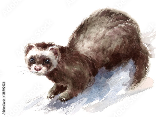 Valokuva  Watercolor Ferret Wild Animal Rodent Hand Drawn Pet Illustration isolated on whi
