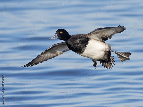 Male Lesser Scaup in Flight Canvas Print