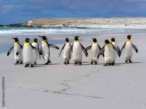 Deurstickers Pinguin King penguin, Aptenodytes patagonica, Volunteer Point, Falklands / Malvinas