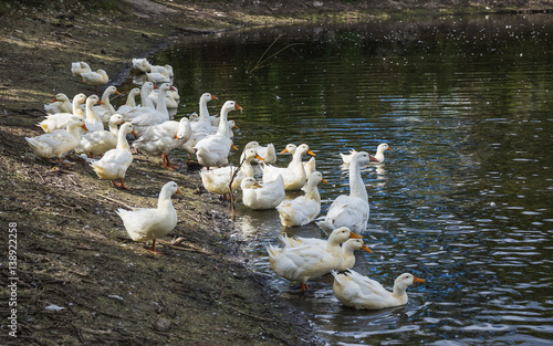 Foto auf Acrylglas Schwan white geese on the pond