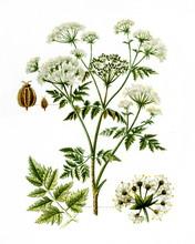 Poison Hemlock (Conium Maculat...