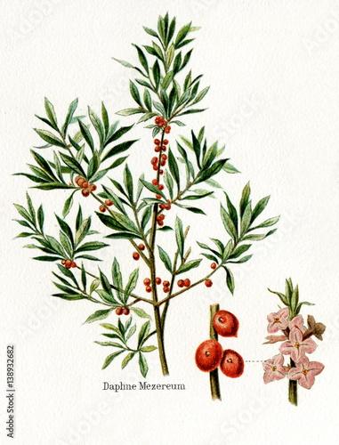February daphne (Daphne mezereum) (from Meyers Lexikon, 1895, 7/568/569) Wallpaper Mural