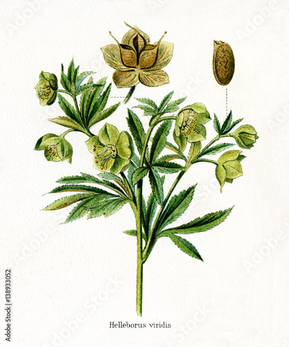 Fototapety, obrazy: Green hellebore (Helleborus viridis) (from Meyers Lexikon, 1895, 7/568/569)