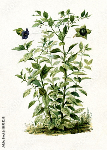 Deadly nightshade (Atropa belladonna) (from Meyers Lexikon, 1895, 7/568/569) Wallpaper Mural