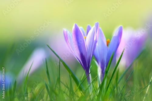 Frühling, Krokusse auf Wiese