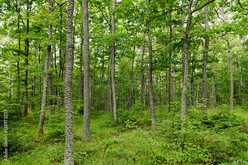 Fotografie, Obraz  Forests of Turkey oak (Quercus cerris) and European hornbeam (Carpinus betulus) shot on the mountain Jastrebac (Serbia)