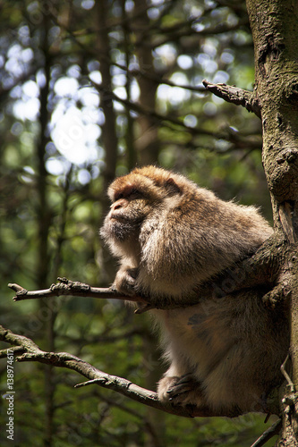 Fotografia, Obraz  Capuchin Monkeys in the open Forest