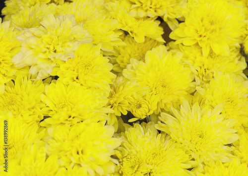 Fototapety, obrazy: Colorful yellow chrysanthemum flower