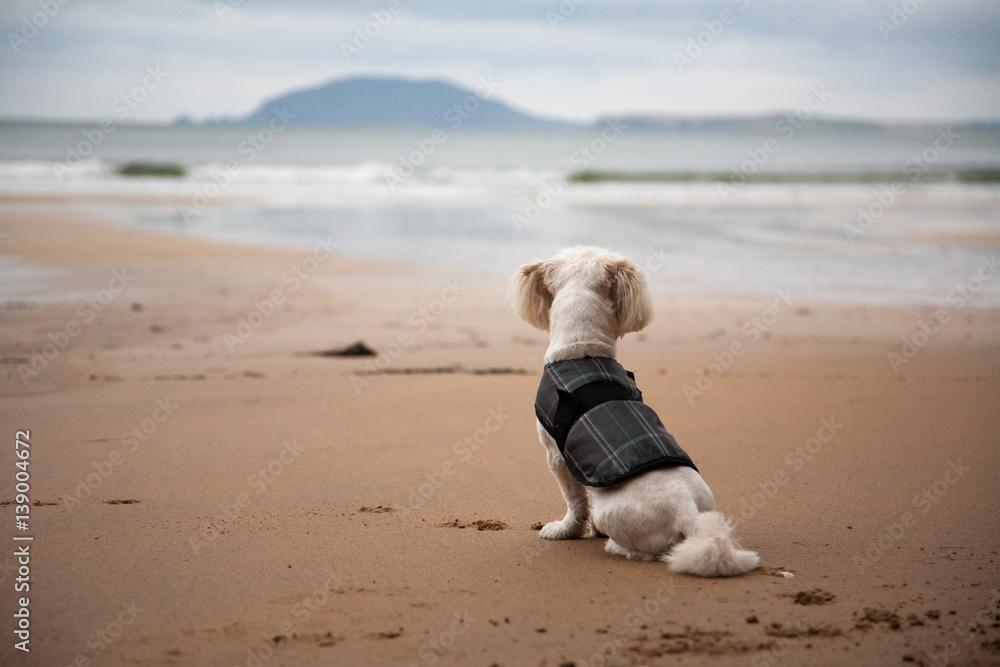 Fototapeta Small Dog Overlooking Ocean