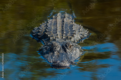 Fotografia Alligator
