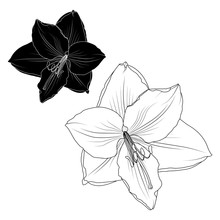Amaryllis Hippeastrum Lilly Flower Black And White Isolated Element. Tattoo Ying Yang Style Vector Design Illustration. Close Up Top View.