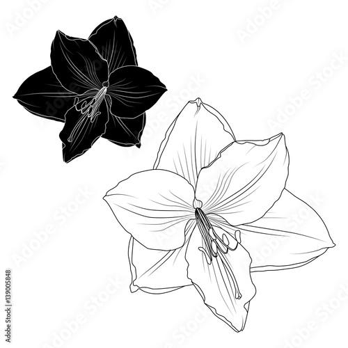 Photo  Amaryllis hippeastrum lilly flower black and white isolated element