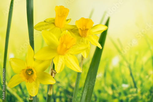 Deurstickers Narcis Daffodil, Jonquil, Daffodils, Narcissus
