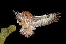 Tawny Owl,brown Owl, Strix Aluco, Czech Republic