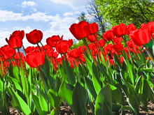 Red Tulips On A Flowerbed In A...