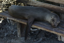 Smiling Sea Lion Sleeping On B...
