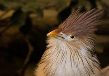 Guira Cuckoo Bird Portrait