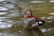 Male Ringed Teal In The Park O...