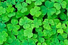 Bear Clover Leaf Green Backgro...