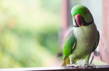 Portrait Of Ringnecked Parakeet