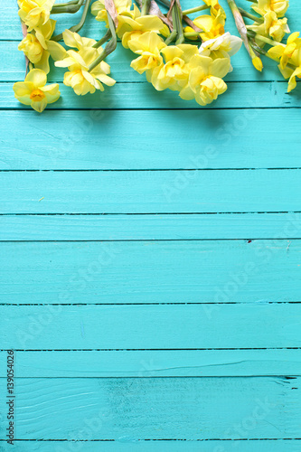 Border from yellow narcissus or daffodil flowers on aquamarine  wooden background Canvas Print