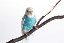 Little Cute Budgerigar, Budgie...