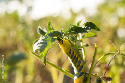 Photo Acherontia Atropos Caterpillar eat Potato Plant
