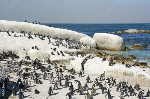 African Penguins Boulders Beach Cape Town South Africa