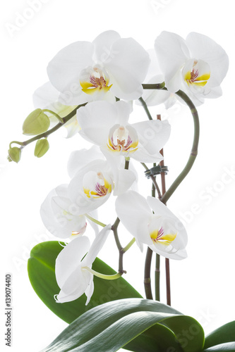 Foto op Canvas Orchidee White orchid flower with leaves