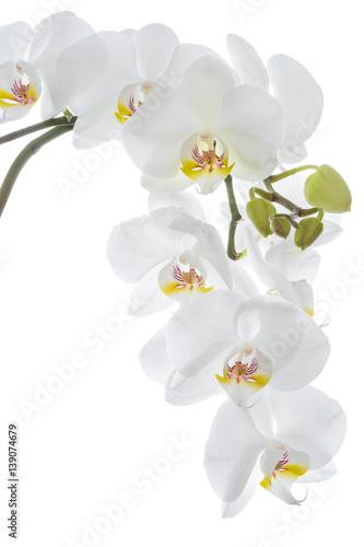 wiszacy-bialy-kwiat-orchidei-na-jasnym-tle