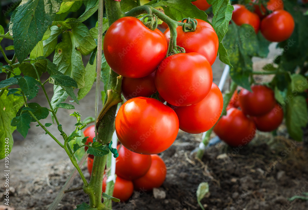 Fototapety, obrazy: Ripe tomatoes in garden ready to harvest