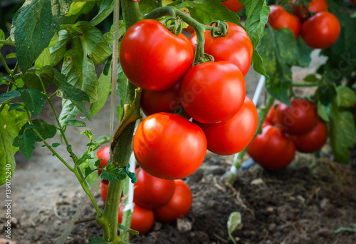 Fotografía  Ripe tomatoes in garden ready to harvest