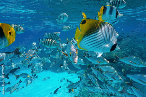 Fototapety, obrazy: Pacific ocean tropical shoal of fish underwater with snapper, damselfish and butterflyfish close to water surface, French Polynesia, atoll of Rangiroa,Tuamotu