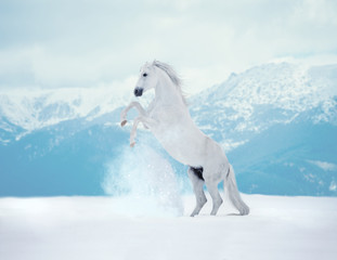 White reared horse on snow on mountains background